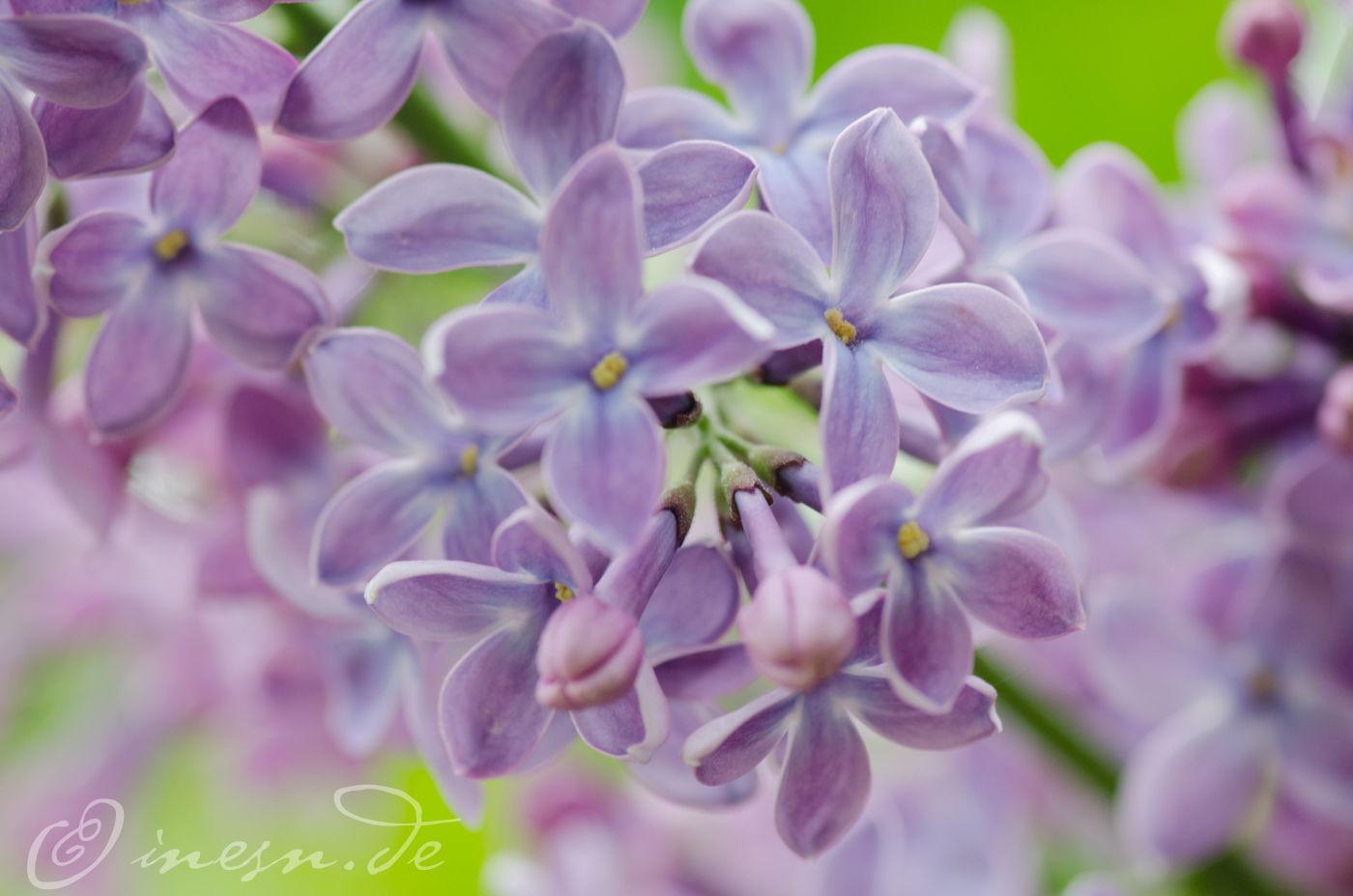 Fliederblüten ~ fotografiert von Ines