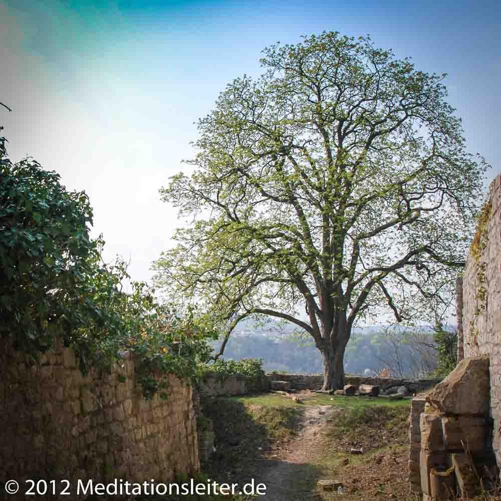 Kastanie auf der Ruine Limpurg
