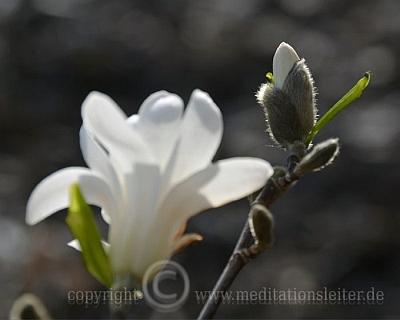 Weiße Magnolie ~ Blüte und Knospe