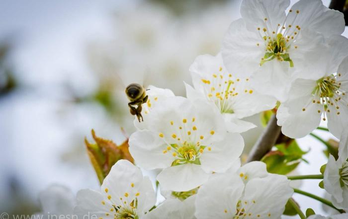 Kirschblüte aus unserem Garten ~ inesn.de