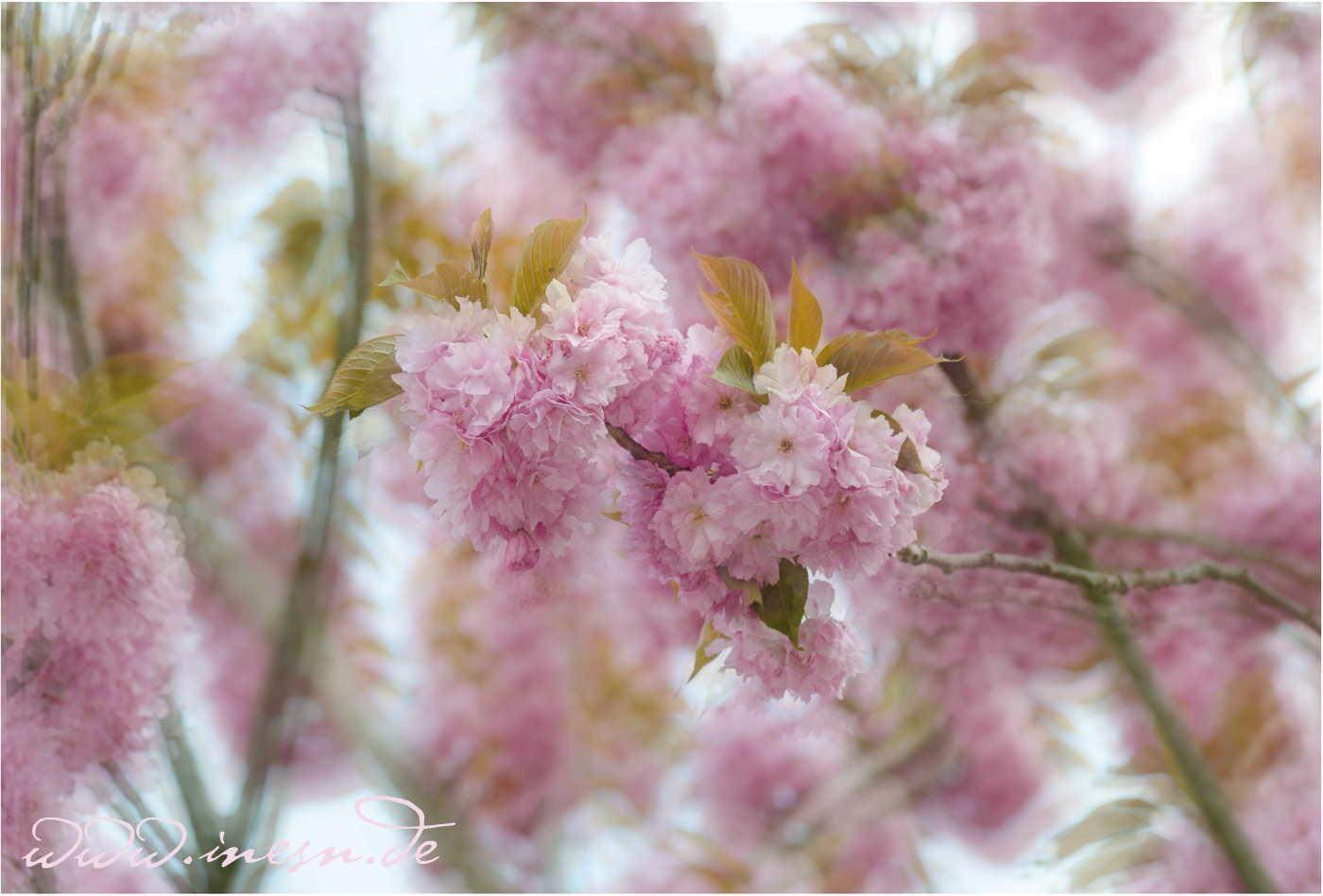 Kirschblüten ~ fotografiert von Ines