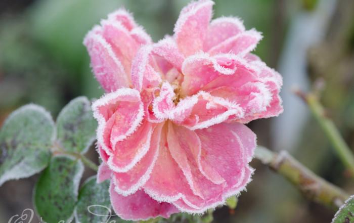 Rose im Rauhreif ~ Foto von Ines