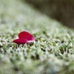 Rosenblatt auf Hecke