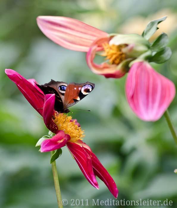 Tagpfauenauge, Schmetterling