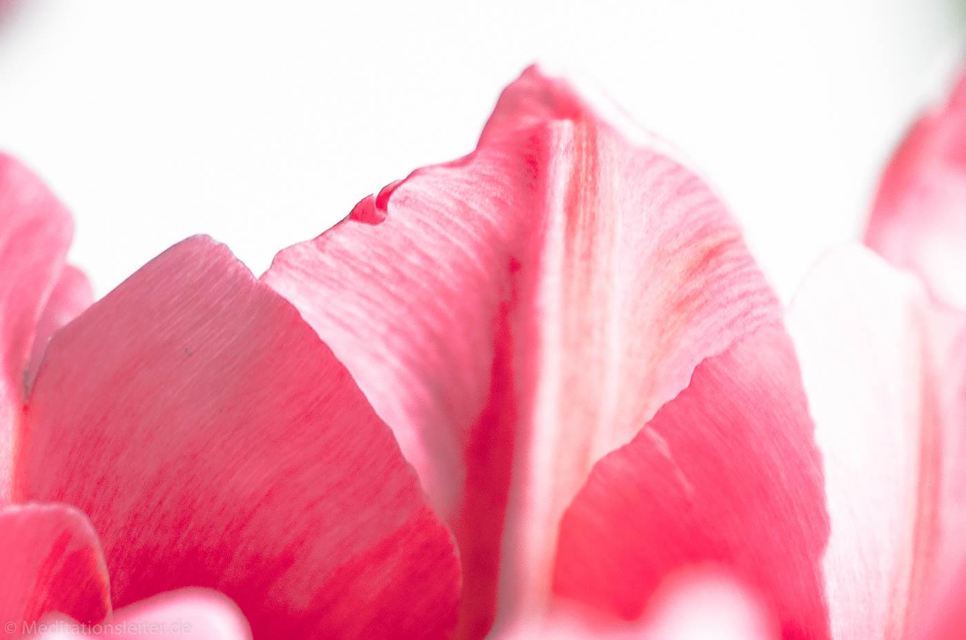 Tulpen Blüten Blätter